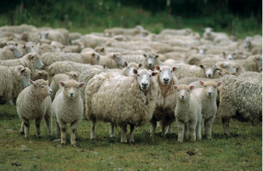 Nevşehir'den Sertifikalı Çobanlar Geliyor