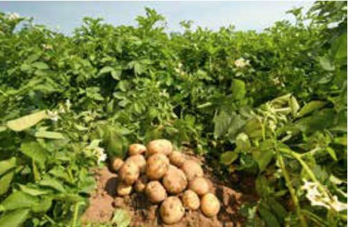 2015'TE Patates Üretimi Patlayacak