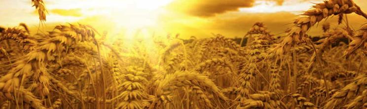 Rusya'dan İthal Edilen Buğday Üzerine