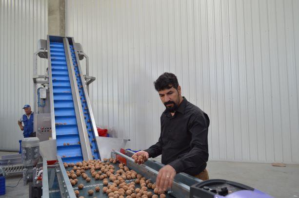 Türkiye'de, Türk Üretimi Ceviz İşleme Tesisleri Kurulacak