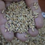 Kızıl Buğday Üreticisini İhya Edecek